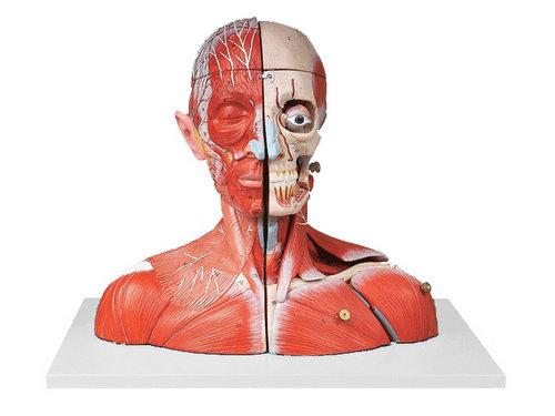 xm-634-头颈部血管神经附脑模型-上海欣曼科教设备