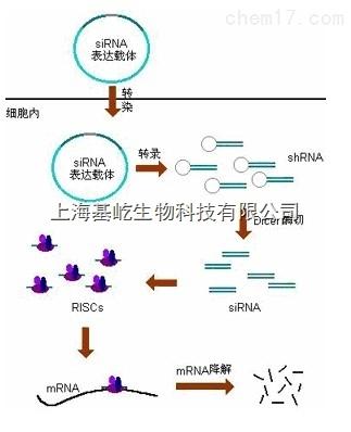 siRNA干扰检测