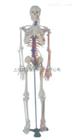 人体骨骼带神经与血管模型