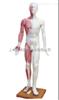 ZK-XC501/178cm人体针灸模型(pvc树脂材质)