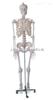 ZK-XC101/170cm人体骨骼模型